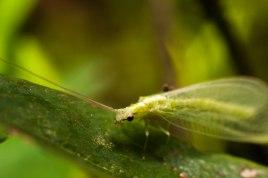 10-juillet-chrysope-aux-yeux-dor