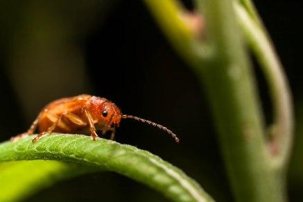 12-juillet-coleoptere