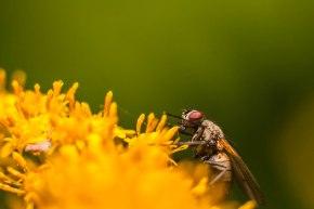 2-septembre-mouche-fleur-jaune
