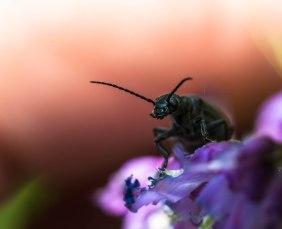 30-juin-coleoptere3