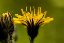 9-juillet-fleur-jaune