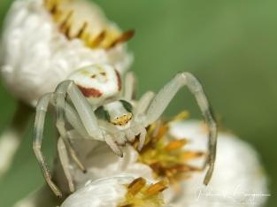 araignée crabe3 (1 sur 1)