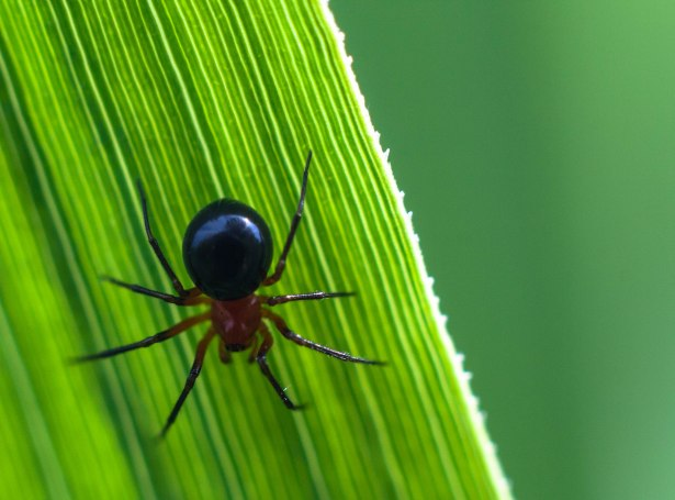 araignee-hypselistes-florens