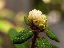 bourgeon-fleur-st-pancrace