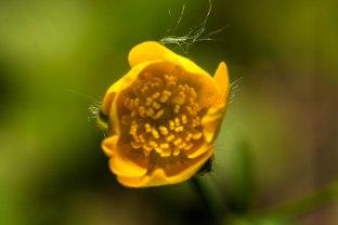 camping-bouton-fleur-jaune