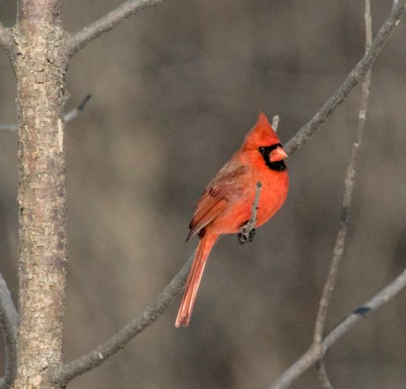 cardinal-1-sur-1