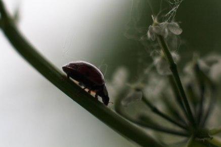 coccinelle-silhouette-boucherville
