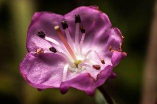 fleur-mauve-st-pancrace