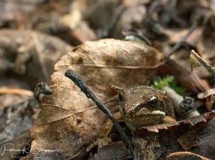 grenouille des bois juvénile2 (1 sur 1)