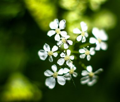 petites-fleurs-blanches-et-mouche