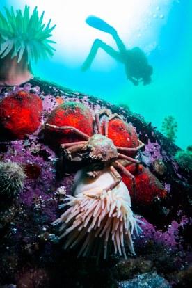 plongeur-grand-bleu-crabe
