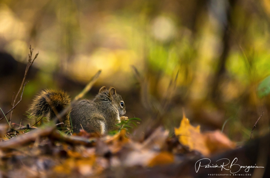 écureuil d'automne (1 sur 1)