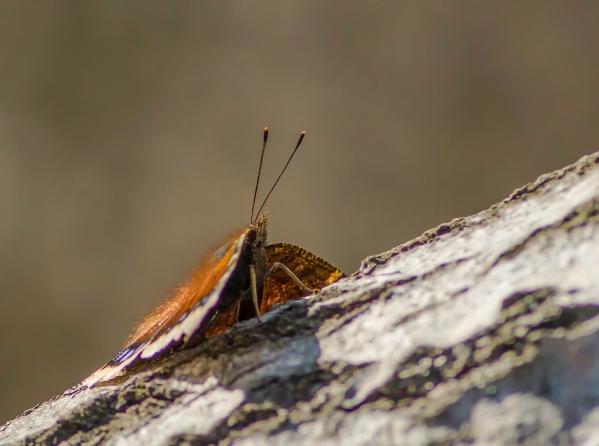 papillon (1 sur 1)