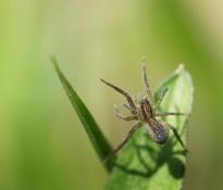 araignée dressée (1 sur 1)