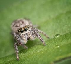 araignée sauteuse goutte (1 sur 1)