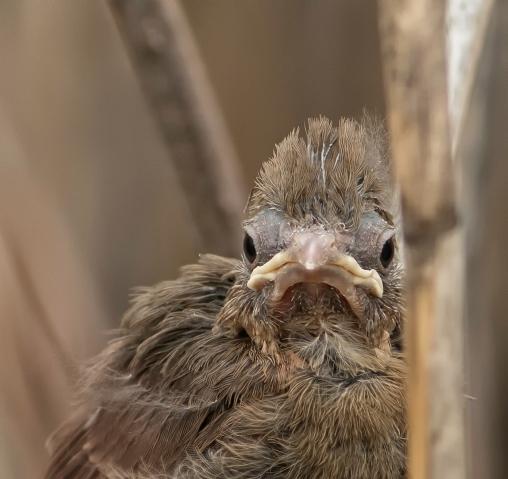 cardinal oisillon2 (1 sur 1)