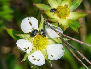 coléoptères fleur (1 sur 1)