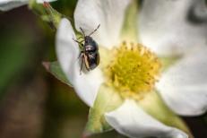 coléoptères fleur6 (1 sur 1)