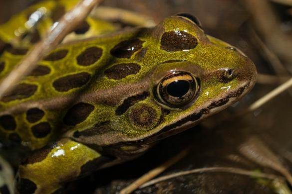 grenouille léopard2 (1 sur 1)