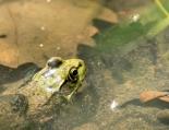 grenouille verte (1 sur 1)