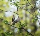 moucherolle vole (1 sur 1)