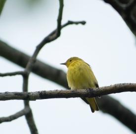 paruline jaune5 (1 sur 1)