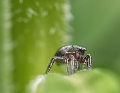 araignée sauteuse2 (1 sur 1)