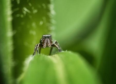 araignée sauteuse3 (1 sur 1)