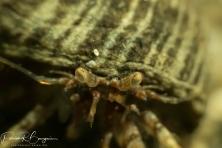 bernard l'ermite juvénile (1 sur 1)