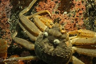 crabe des neiges (1 sur 1)