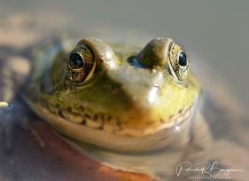 grenouille verte5 (1 sur 1)