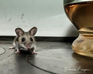 souris pattes blanches (1 sur 1)