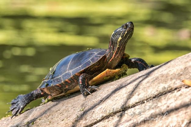 tortue16 (1 sur 1)