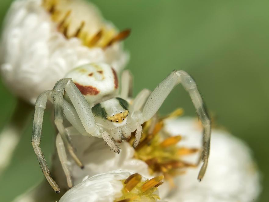 araignée crabe (1 sur 1)