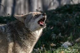 coyote2 (1 sur 1)