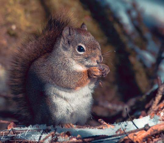 écureuil (1 sur 1)