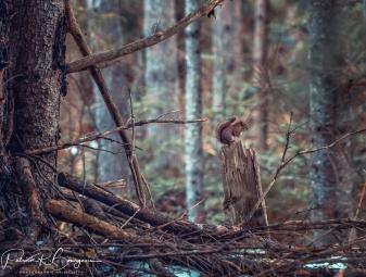 écureuil souche (1 sur 1)
